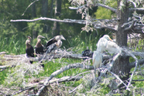 Anhinga juveniles in a tree at the Trinity River Waterbird Rookery. They shared the tree with Egrets and Cormorants.