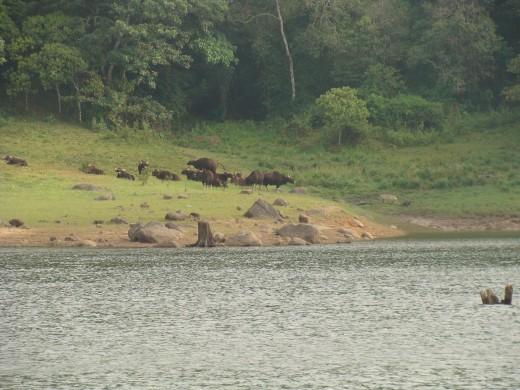 Bison near shore