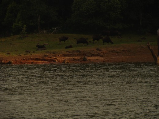 Bison's at Lake of Thekkady having rest