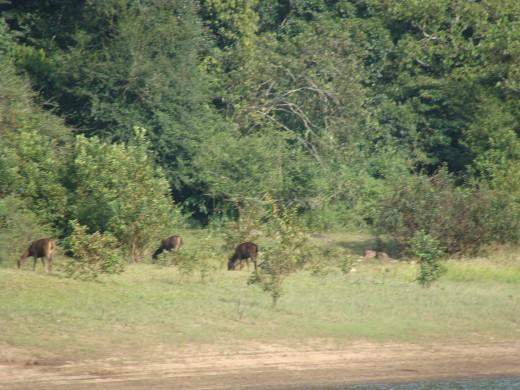 Deers having their food
