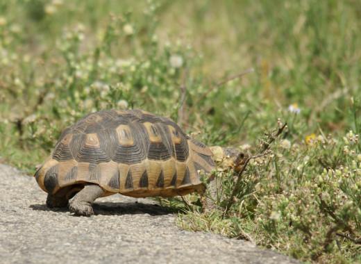 Tortoises are also reptiles.