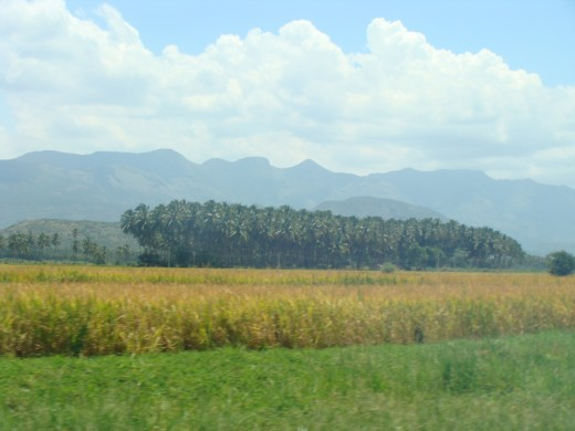 Paddy Farm near Theni - A district in South Tamil nadu of India - 2