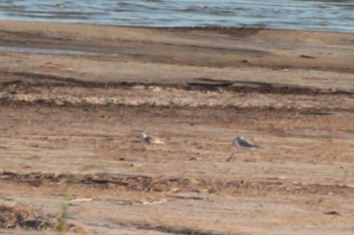 Two Snowy Plovers in the distance