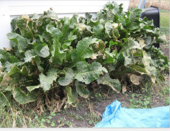 Minnesota Horticulture: Horseradish - Growing Your Own