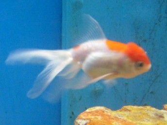 Red cap orando goldfish