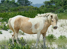 Wild Chincoteague pony