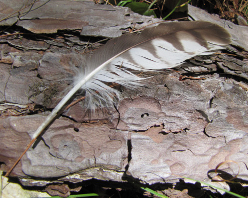This large, brown and white feather seemed best displayed on textured bark.