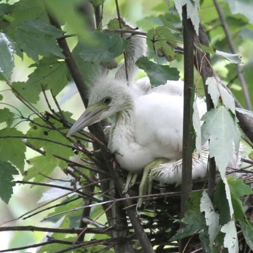 Nestling Little Blue Heron