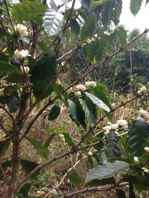 Flowering Coffea plants