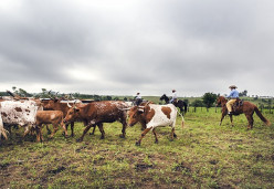 The rising price of beef in America has led to increases in cattle rustling in Texas via pickup