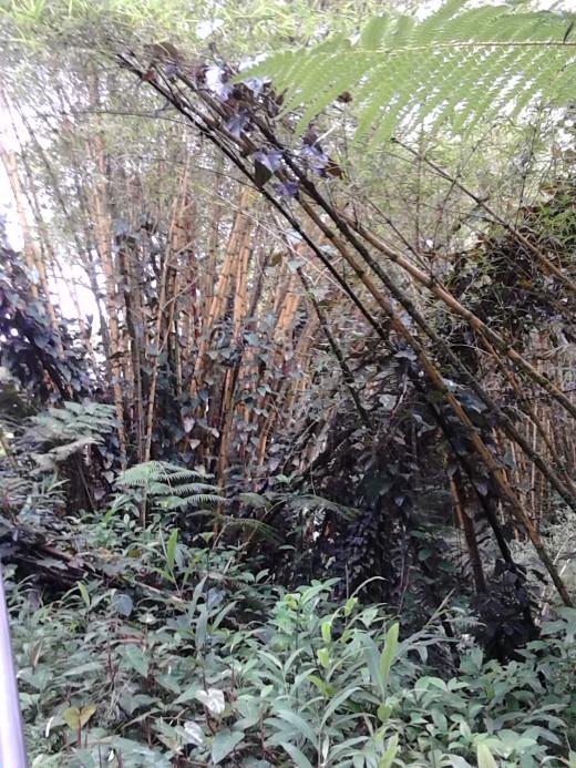 Gigantic Bamboos