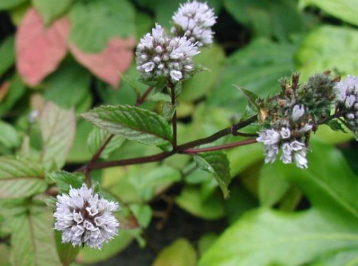 Mentha piperita: Flowers and leaves.