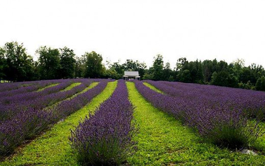 The Lavender Fields