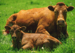 Vacche Rosso (Red Cows)