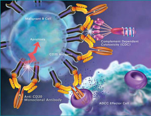 T-Lymphocytes or T cells are involved in: 1) inflammatory reactions. 2) increasing the numbers of cells for a strong defense of the body. 3) the destruction of cancer and infected cells.