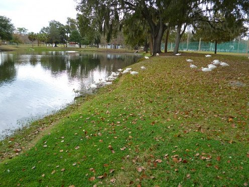 A flock of White Ibis near The Villages.