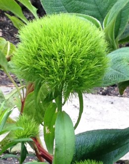 Green Ball Sweet William