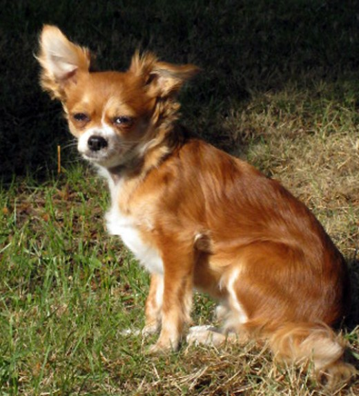 A Long-Haired Chihuahua.
