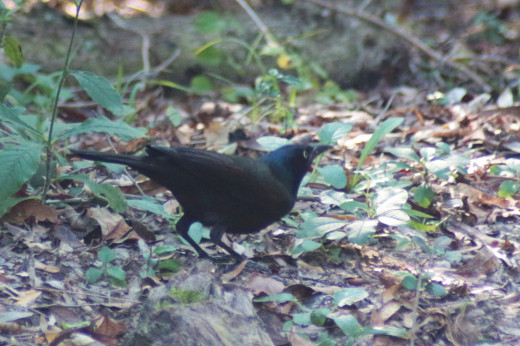 Common Grackle moving through the forest with its flock at Armand Nature Center, Texas.