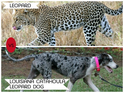 11 Dogs That Look Like Wild Animals | PetHelpful