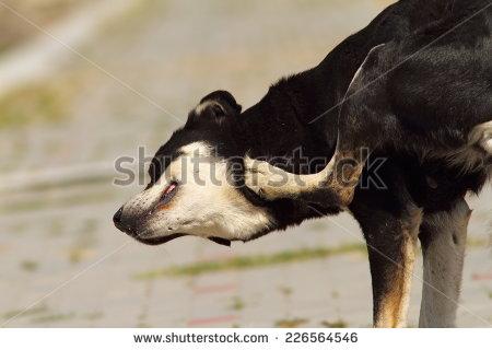 Some fleas enjoy a nice, juicy dog