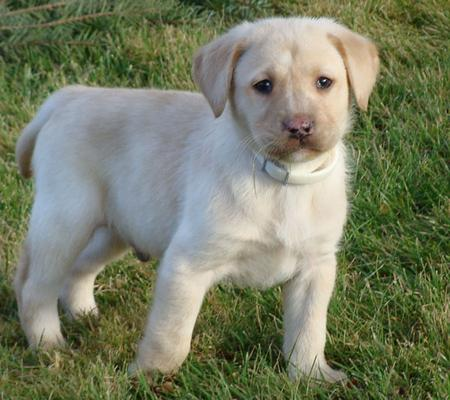 Top 10 Most Popular Dog Breeds In India   HubPages