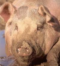 Uncleanness is like a clean pig returning to wallowing in the mud.