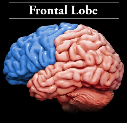 Brain frontal lobe