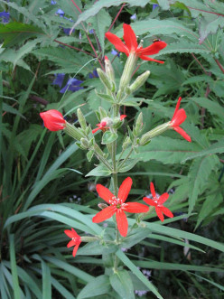 Campions and Catchfly's { Caryophyllales part three }