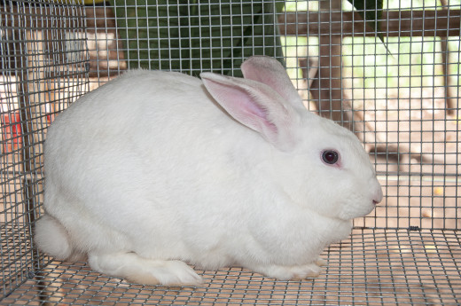 Beautiful Female Rabbit