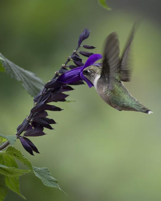 Hummingbird enjoying Blue Anise Salvia