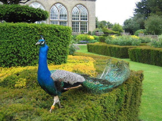 Peacock and fountains at Warwick Castle