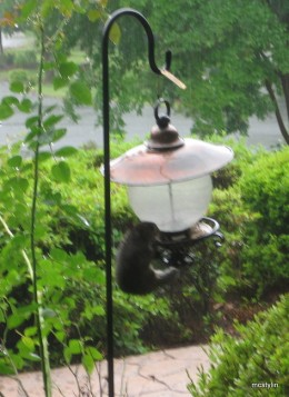 A persistent squirrel can climb up the birdfeeder pole and deplete the feed before birds get any!