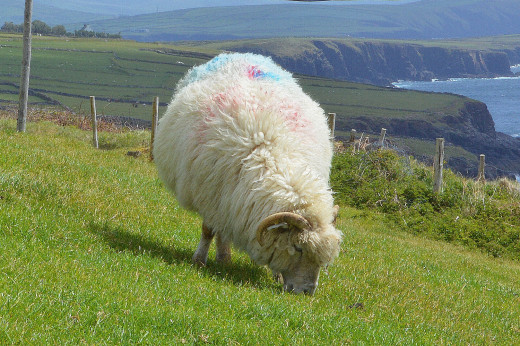 Sheep seem to outnumber people throughout the countryside. Farmers paint colors on their backs as a form of identification.