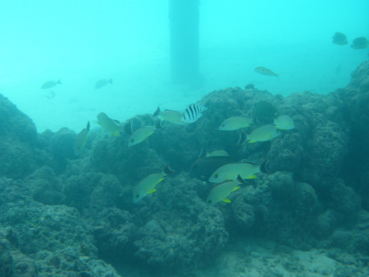 Reef fish underneath the bungalow.