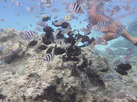 Reef fish on the Island's coral garden
