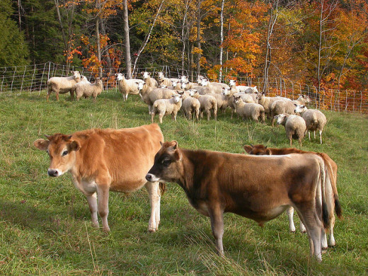 Cows and Sheep grazing together