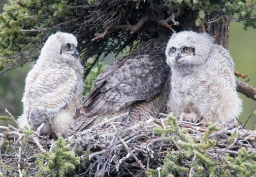 Great horned owl and owlets near Mt. Denali.