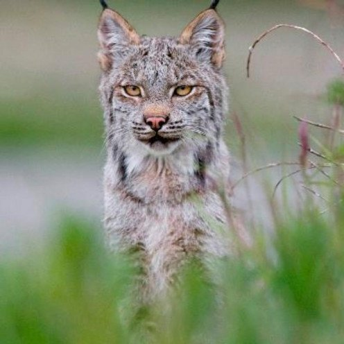 "Lynx wants to know: ""What is more important, the people or the mountain?"""
