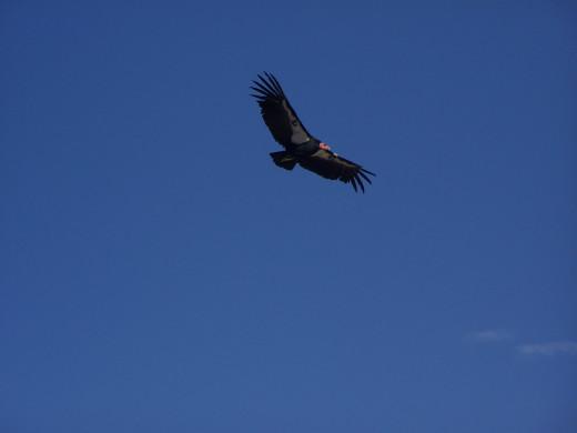 A photo of a condor over the grand canyon