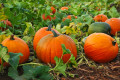 Hints for growing great pumpkins and squash