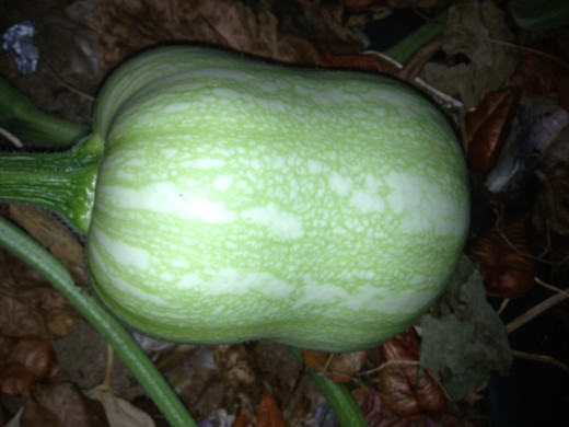 Pumpkins are normally green before they ripen - watch for the changing colour of their skin - this is a good sign that they are beginning to ripen