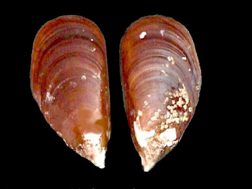 Brown Mussel Shell