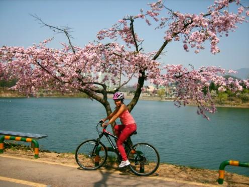 Cherry Blossom Season in Chungju