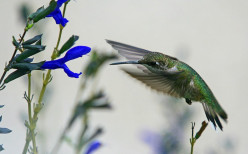 Ruby-Throated Hummingbirds and Black and Blue Sage: The Attraction is Mutual