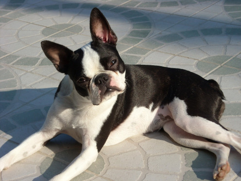Boston Terriers are supposedly notorious for being finicky eaters