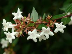 Albelia  A-Z of plant genera. part one