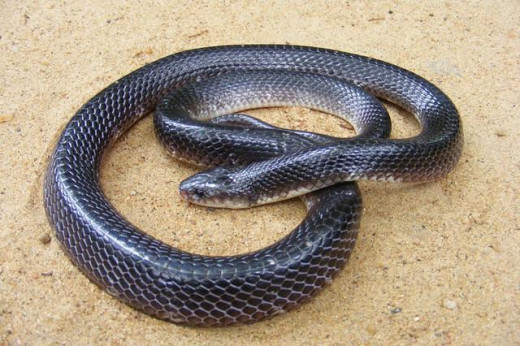 Common Krait: known to bite you in bed!