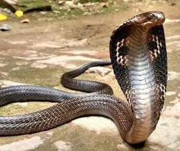 Most magnificent venomous reptile.  Noble King Cobra.  Rarely attacks man.