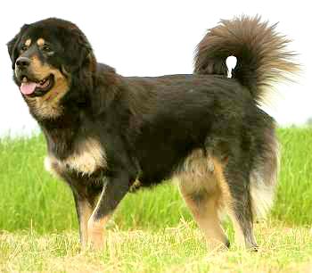 Indian Gaddi Dog (Indian Panther Hound)